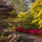 Aberglasney Acer golden and purple leaved in the aasiatic garden 185 Nigel McCall