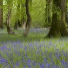 Aberglasney Bluebells in well managed woodlands Nigel McCall