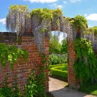 Calke Abbey Susan Guy_Wisteria