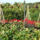 Houghton garden pic 4