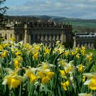 Chatsworth Daffs