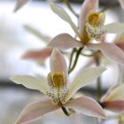 St Andrews Cymbidium 'viex rose' 5