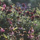 Newby 6_Autumn dahlias