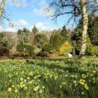 St Andrews Botanic Garden - Daffodils